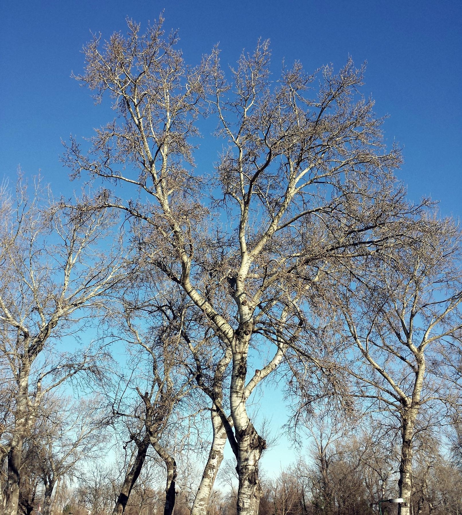 Pioppo bianco (Populus alba).